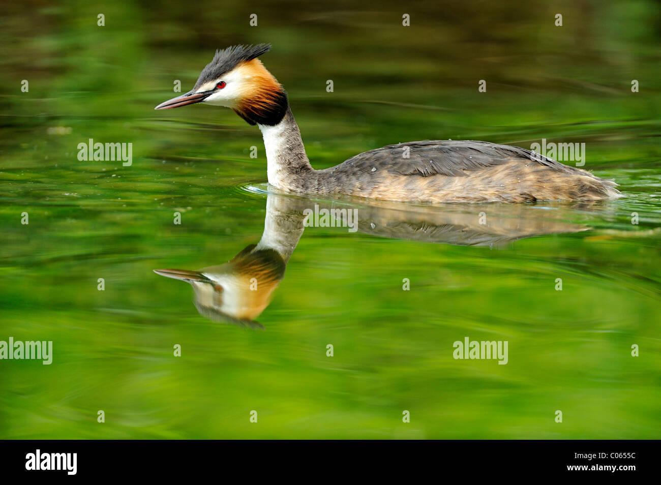 Great Crested Grebe (Podiceps cristatus) with its reflection - Stock Image