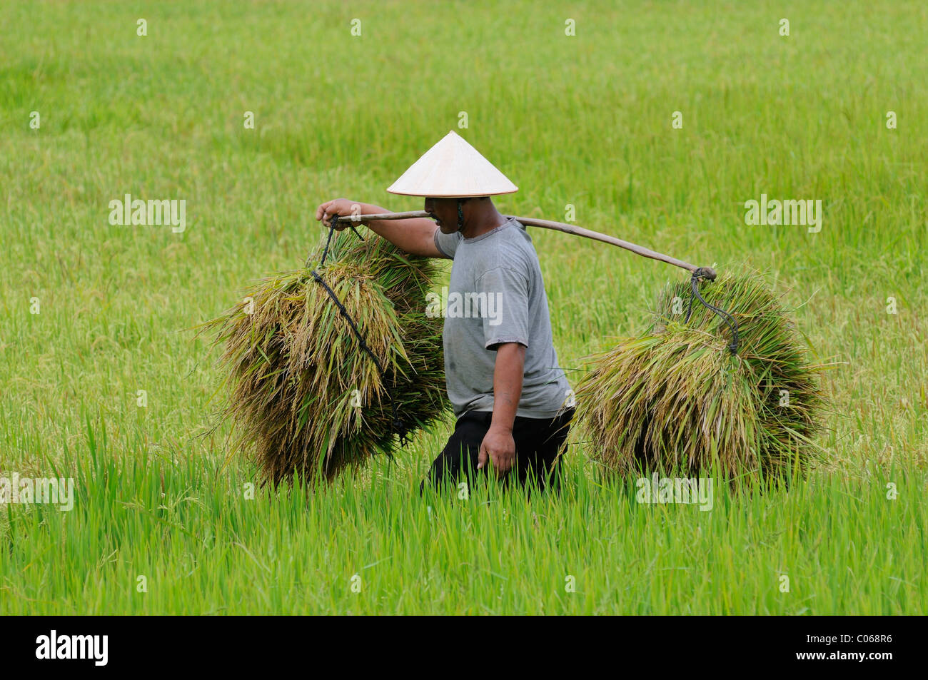 Man with cone-shaped hat harvesting rice, Vietnam, Asia - Stock Image