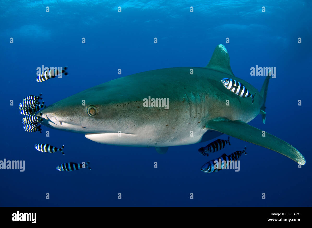 Oceanic white tip Shark with pilot fish, Red Sea, Egypt - Stock Image
