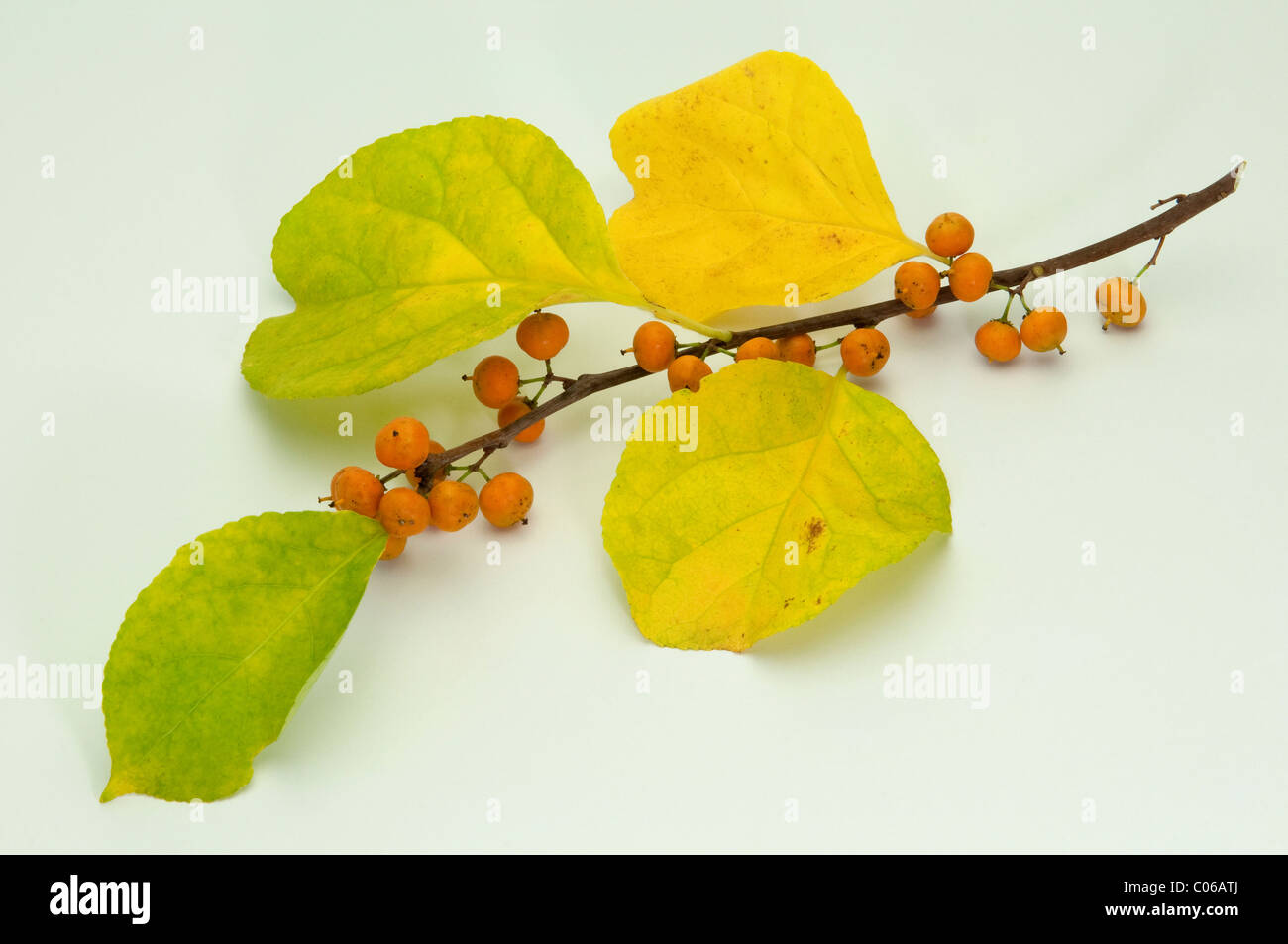 American Bittersweet (Celastrus scandens), twig with berries and leaves in autumn colors - Stock Image