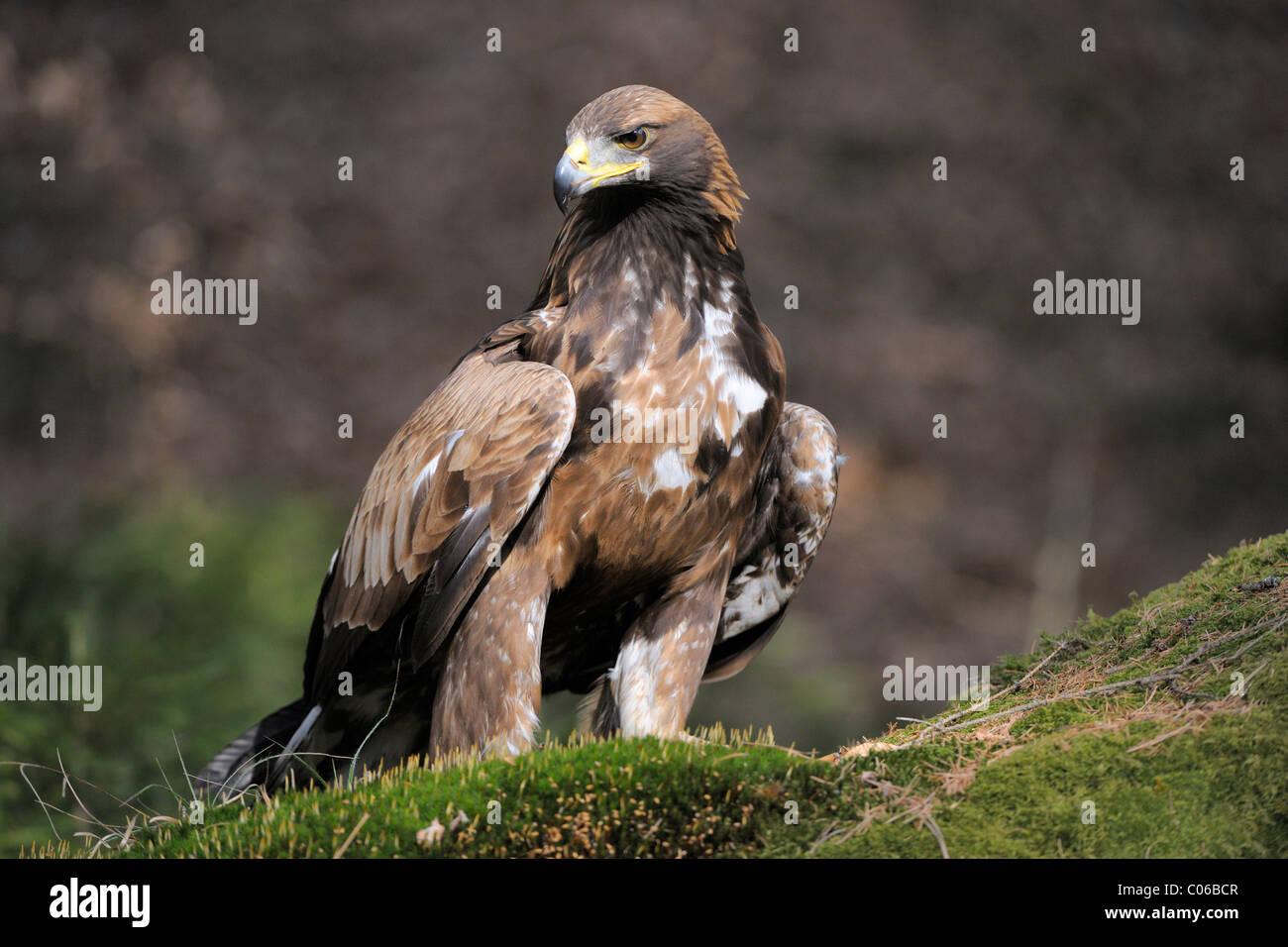 Golden eagle (Aquila chrysaetos) on a lookout, Landskron Castle Eagle Park, Carinthia, Austria, Europe Stock Photo