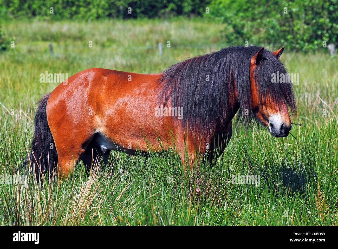 Stallion, Icelandic Horse, Icelandic Pony (Equus przewalskii f. caballus), male - Stock Image