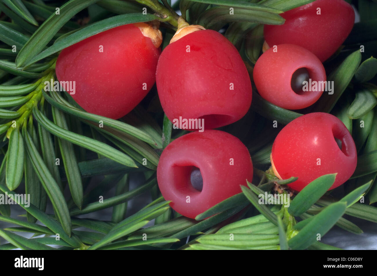Common Yew, English Yew (Taxus baccata), underside of twig with so-called berries. Stock Photo