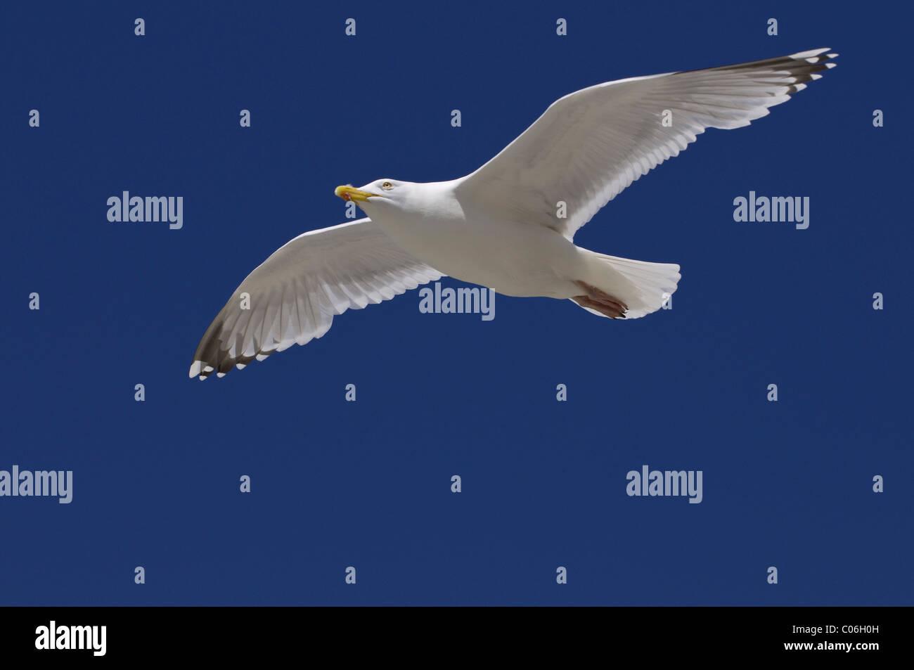 European Herring Gull (Larus argentatus) gliding - Stock Image