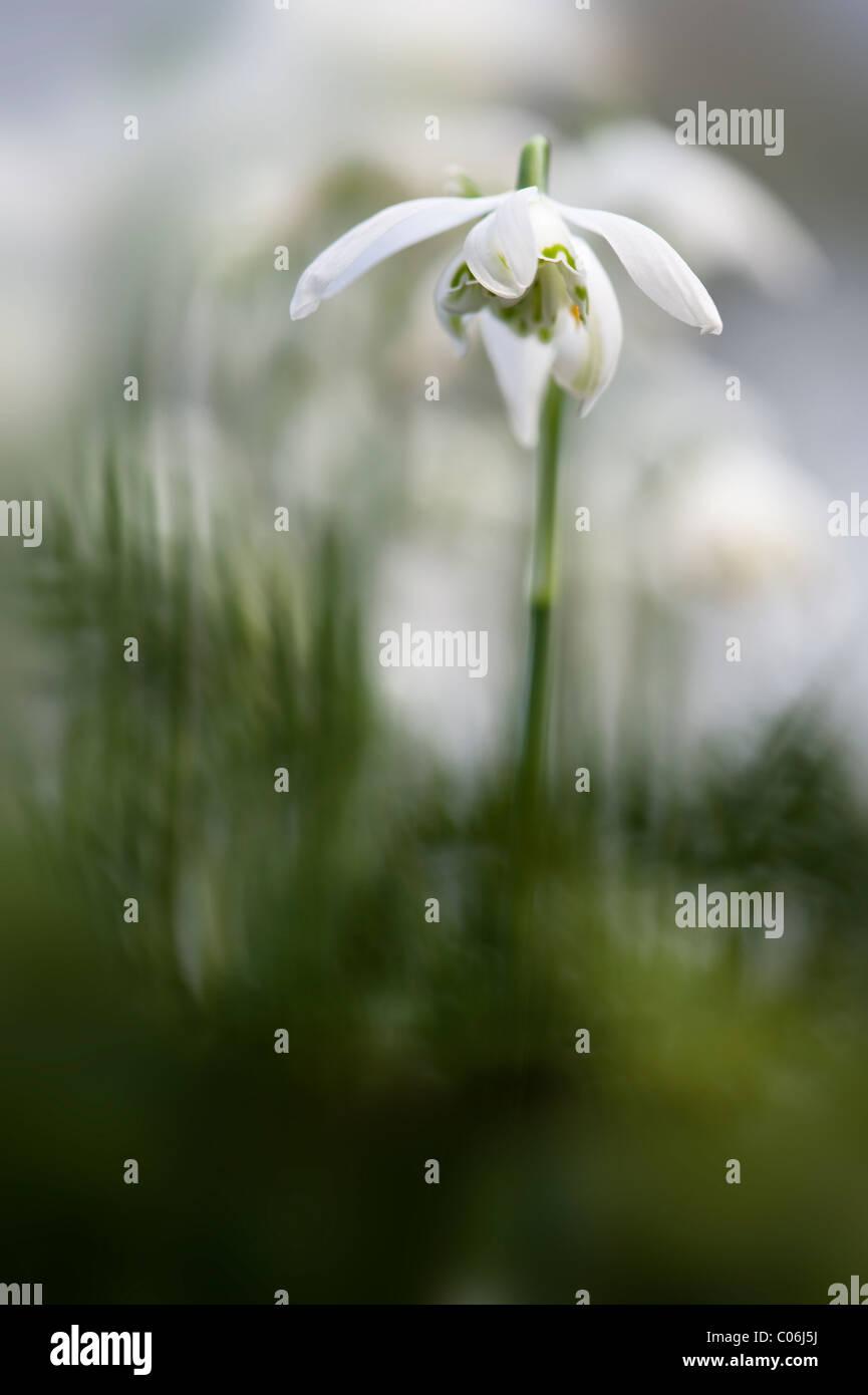 Double flowering Snowdrop - Galanthus nivalis 'Flore Pleno' - Stock Image