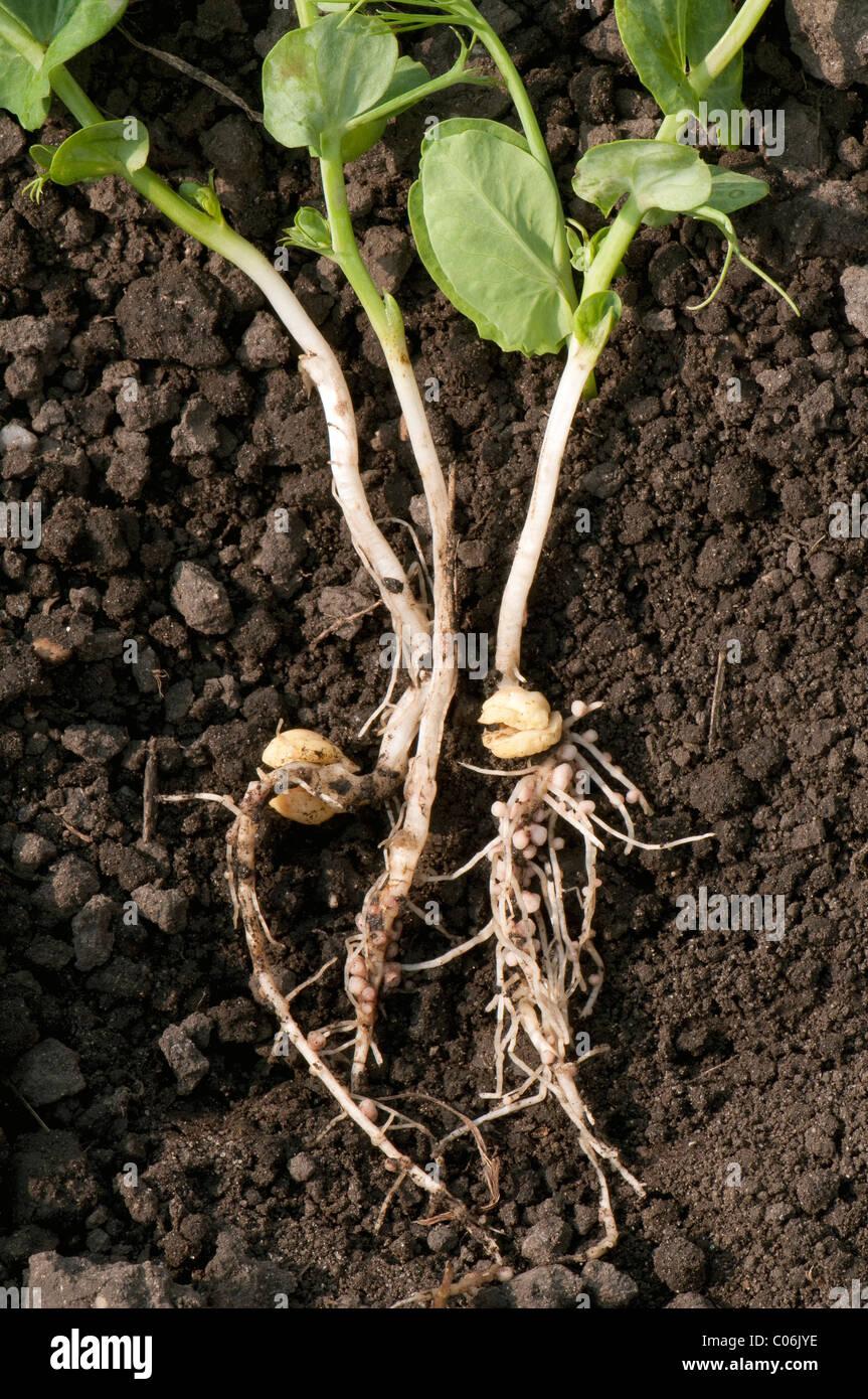 Root nodules with Rhizobium bacteria on the roots of a Garden Pea (Pisum sativum). - Stock Image