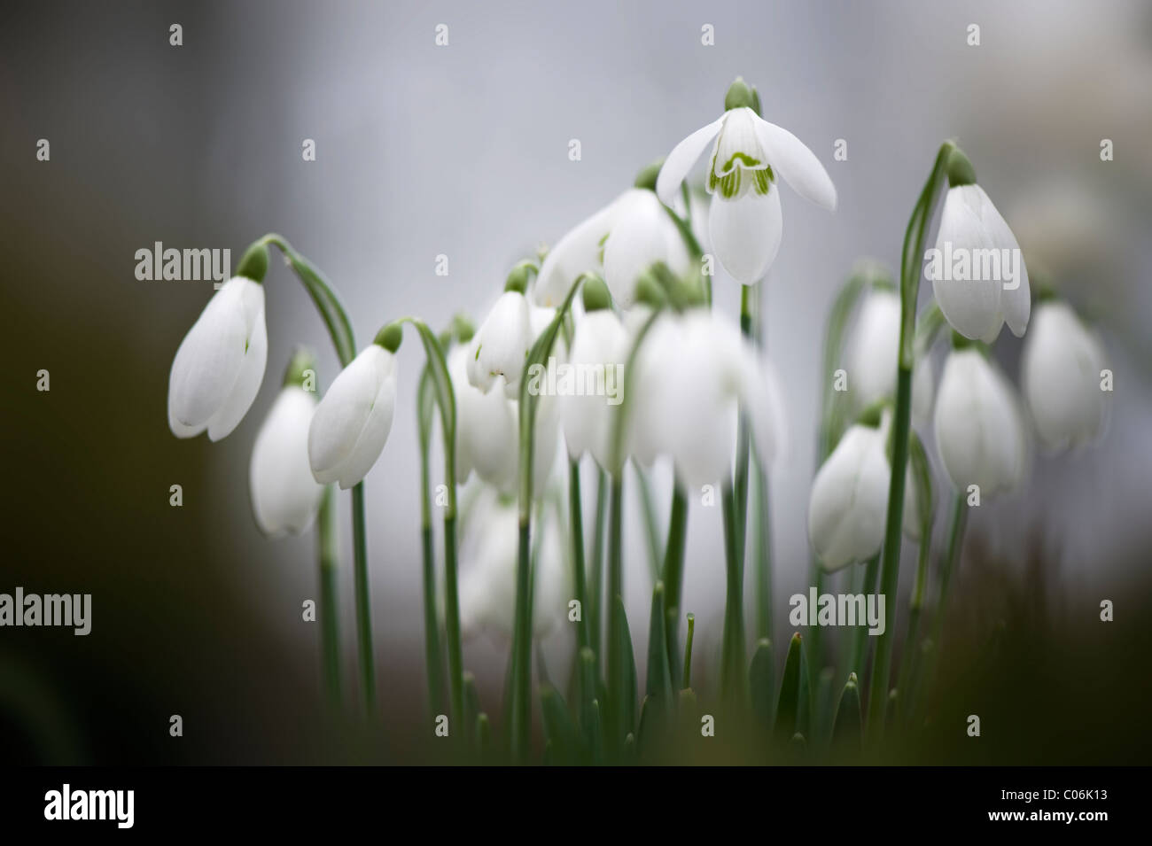 Galanthus nivalis - common snowdrops - Stock Image