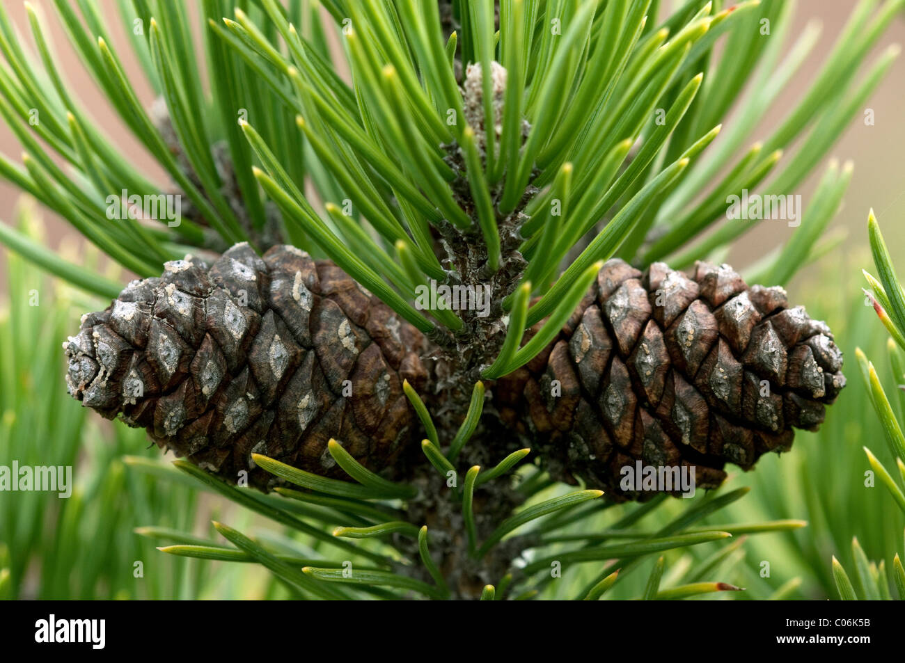 Dwarf Mountain Pine, Mountain Pine (Pinus mugo mugo). Two cones on a twig. - Stock Image