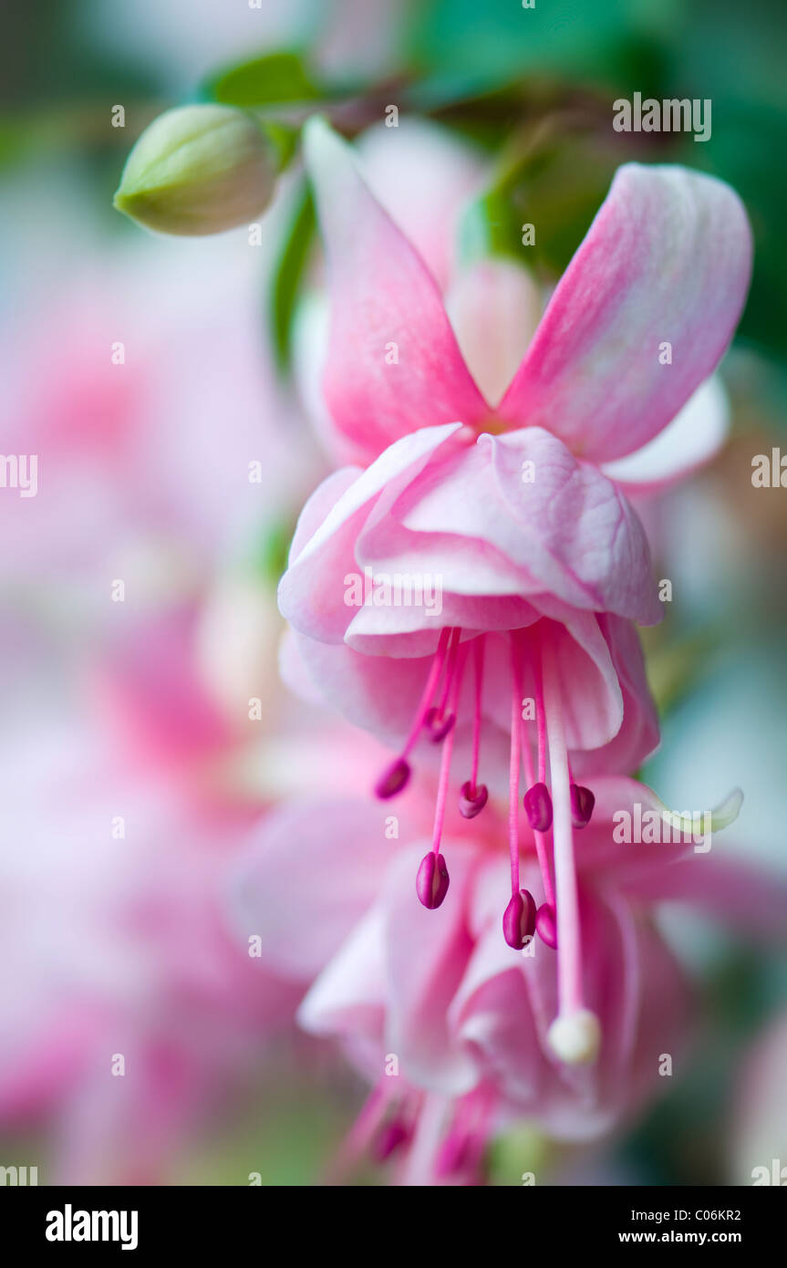Pink fuschia plant stock photos pink fuschia plant stock images summer flowering pale pink fuchsia flowers stock image mightylinksfo