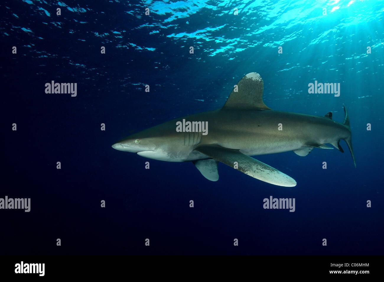 Oceanic white tip Shark, Red Sea, Egypt - Stock Image