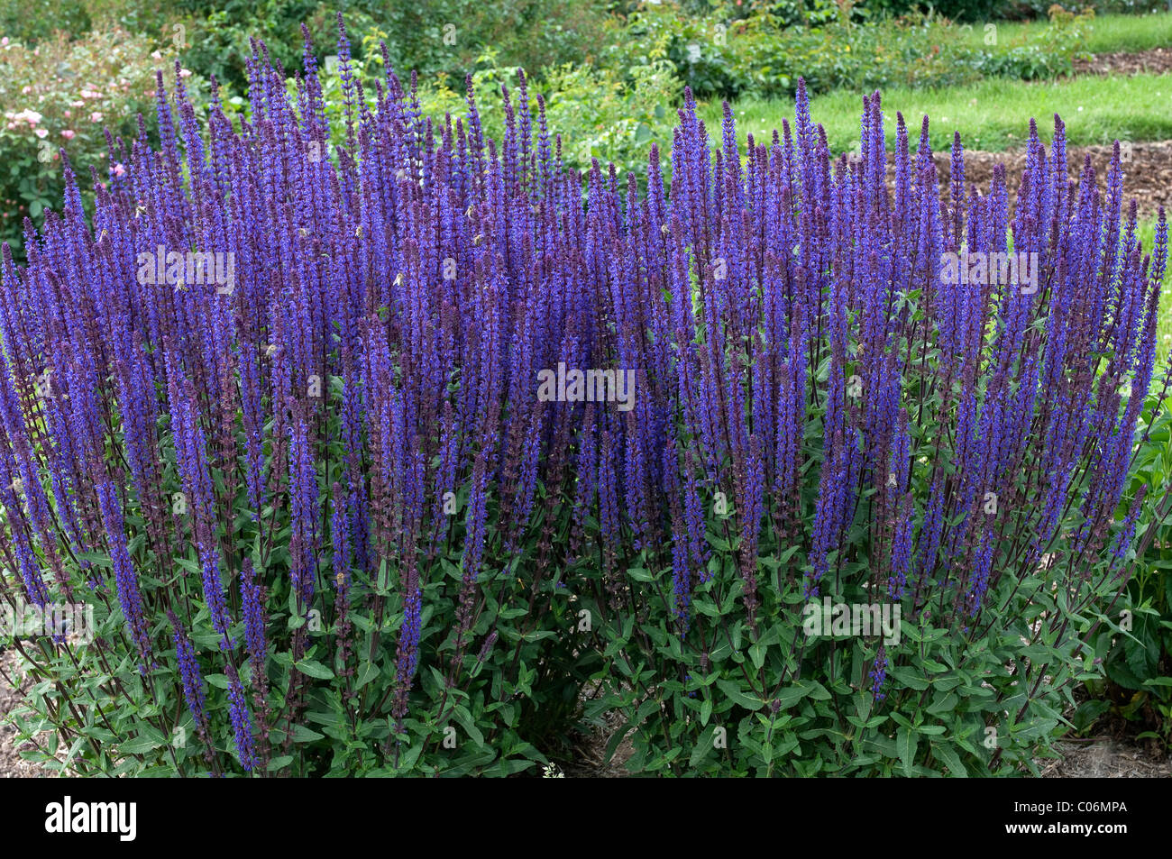 ornamental sage salvia nemorosa caradonna flowering stand stock photo 34568754 alamy. Black Bedroom Furniture Sets. Home Design Ideas