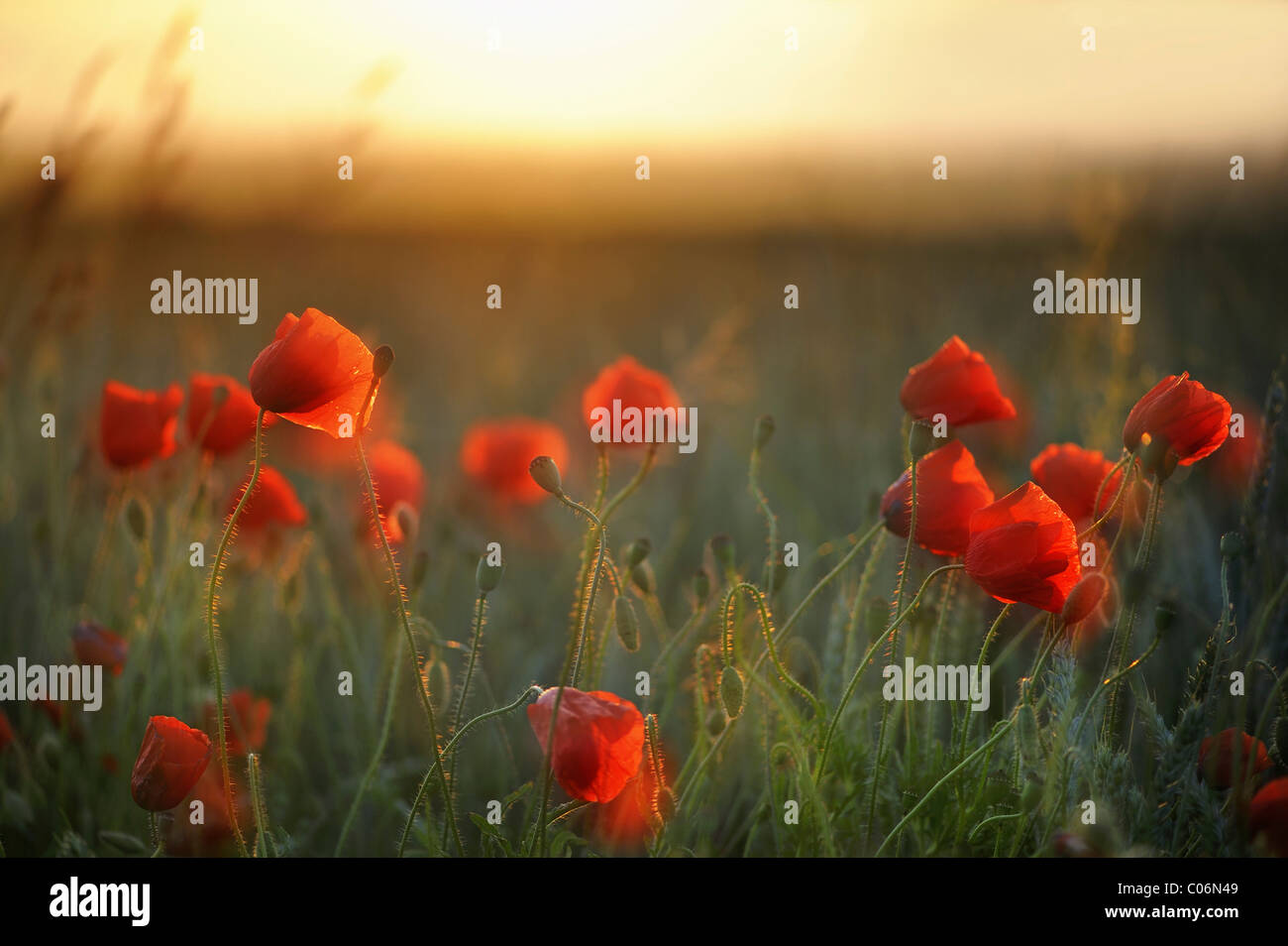 Corn Poppies (Papaver rhoeas) in the evening light, Germany, Europe - Stock Image
