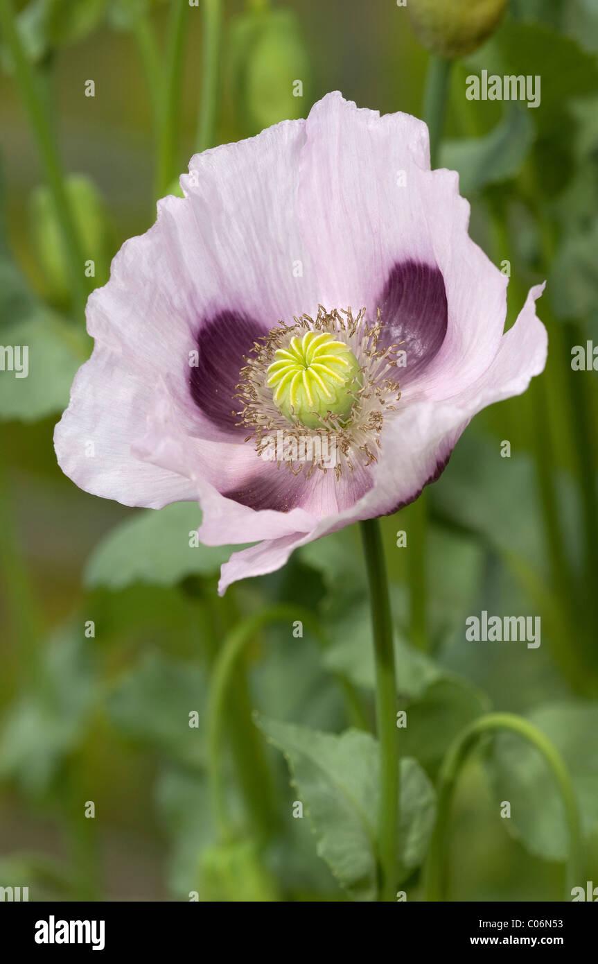 Opium Poppy Plant Stock Photos Opium Poppy Plant Stock Images Alamy