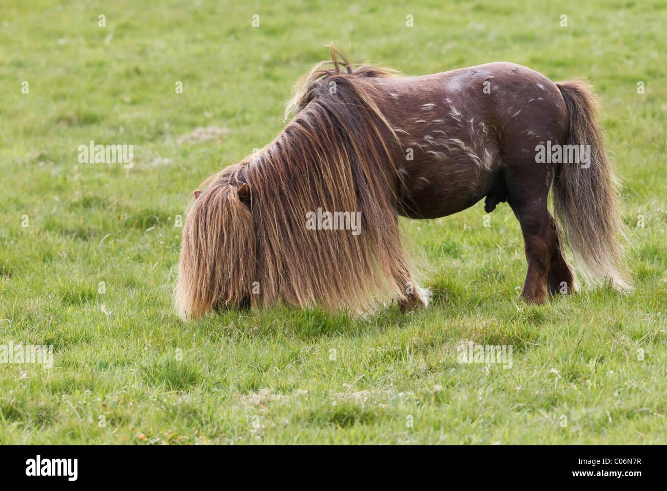 Shetland pony stallion - Stock Image