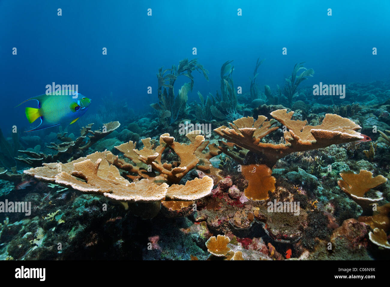 Coral reef, fish, fused Staghorn Coral (Acropora prolifera), Queen Angelfish (Holacanthus ciliaris), Little Tobago, - Stock Image