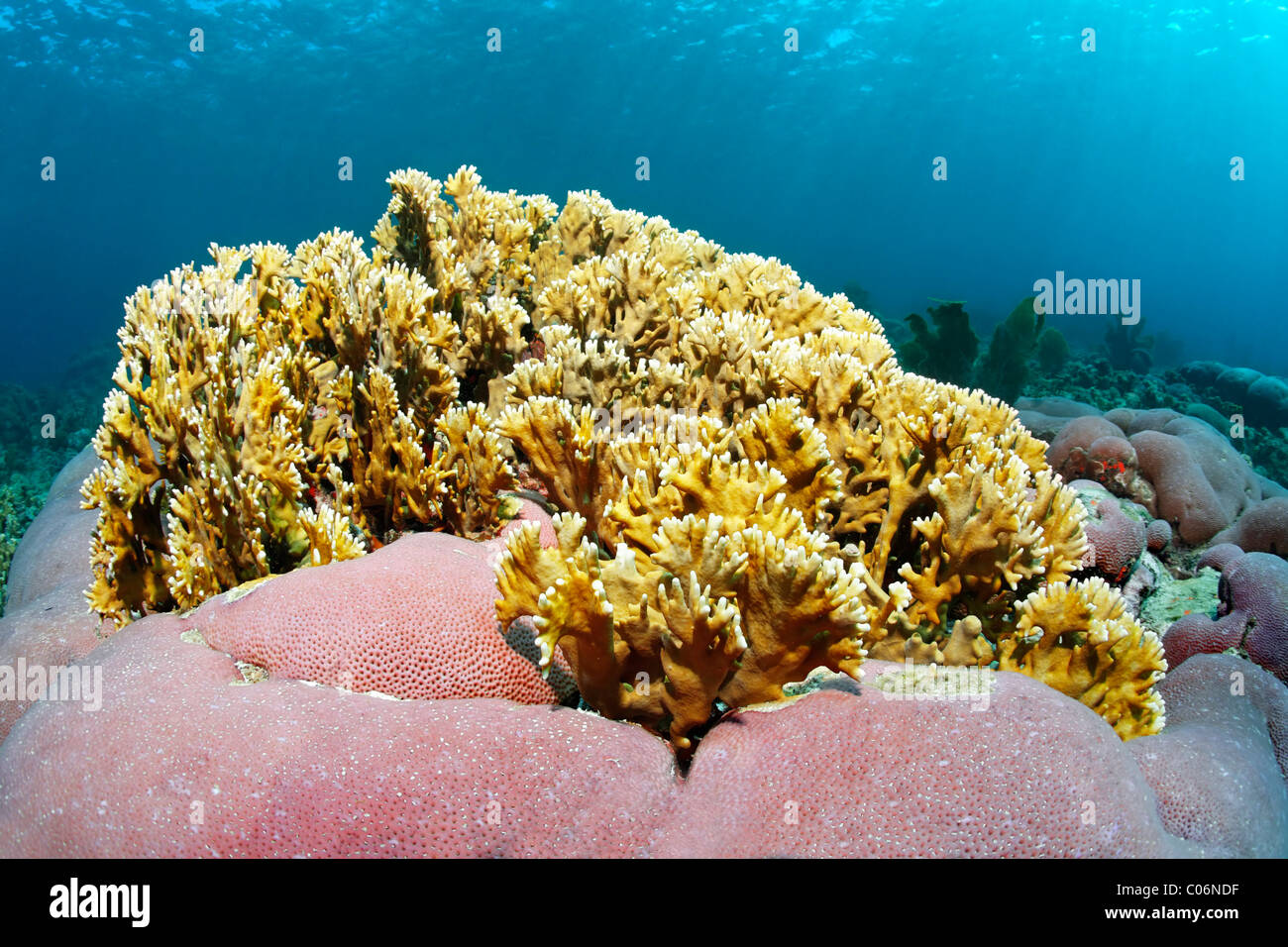 Branching fire coral (Millepora alcicornis), yellow, nettling, unknown pink pillow coral, Little Tobago, Speyside - Stock Image