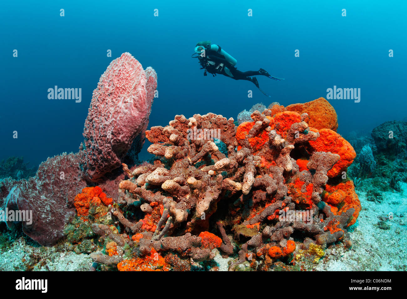 Diver, various multicoloured sponges, sandy ground, Little Tobago, Speyside, Trinidad and Tobago, Lesser Antilles, - Stock Image