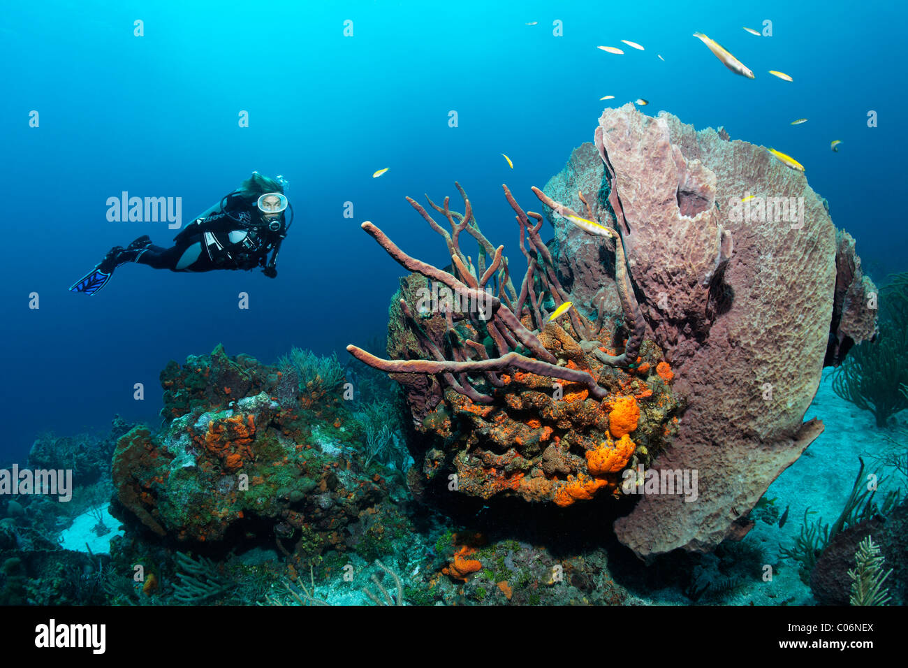 Diver, Fvarious multicoloured sponges and corals, sandy ground, Little Tobago, Speyside, Trinidad and Tobago, Lesser - Stock Image