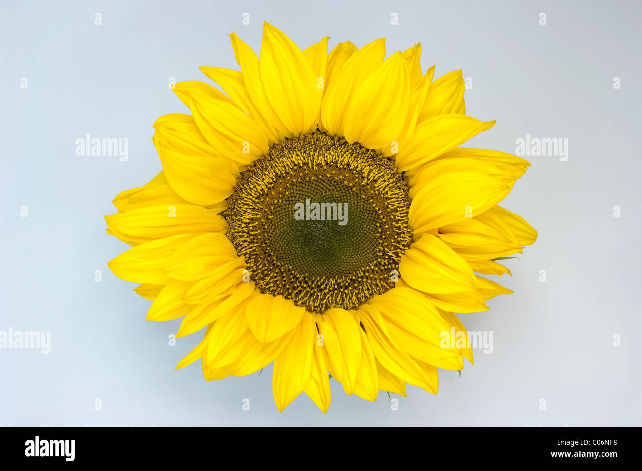 Sunflower (Helianthus annuus). Flower head. Studio picture against a white background. - Stock Image