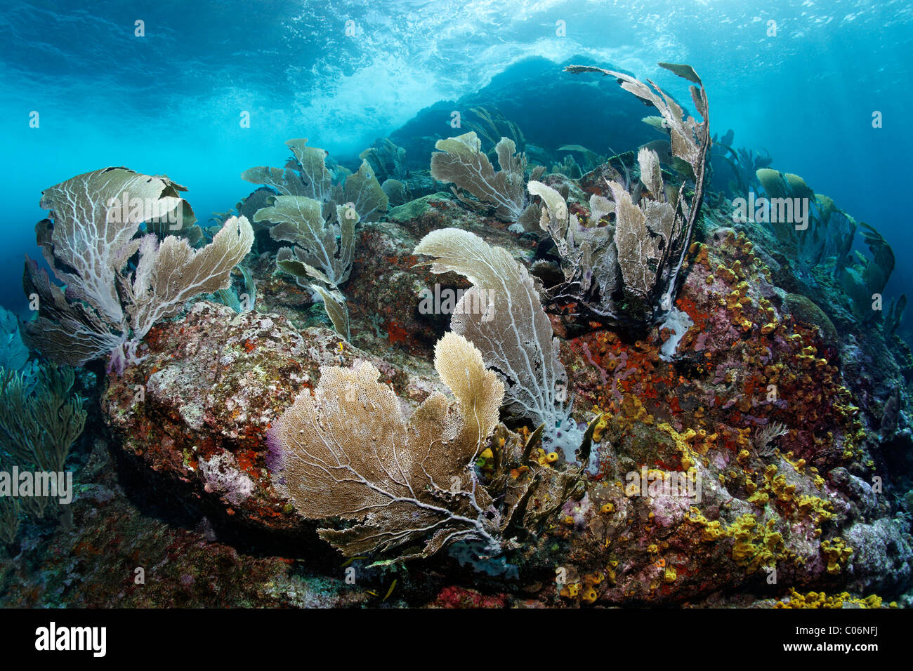 Coral reef with strong waves and currents, Venus sea fan (Gorgonia flabellum), Little Tobago, Speyside, Trinidad Stock Photo