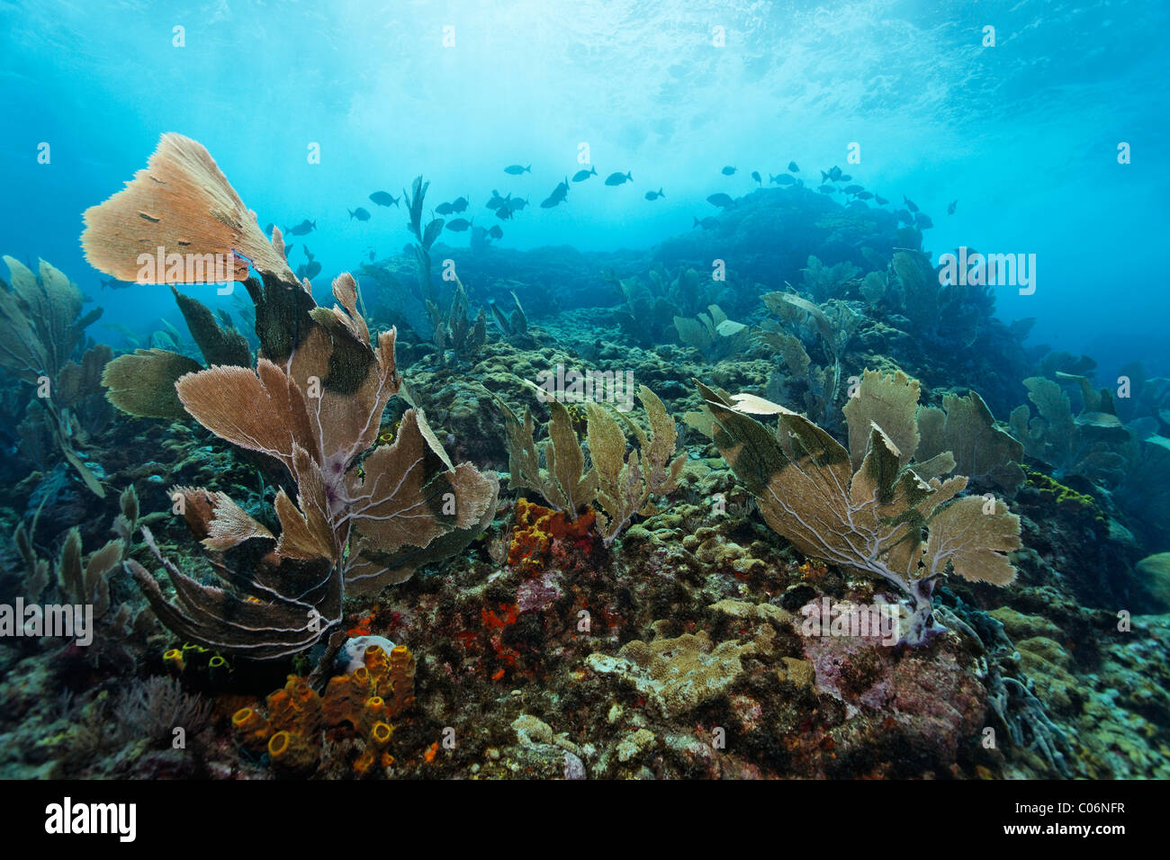 Coral reef in strong waves and currents, Venus sea fan (Gorgonia flabellum), shoal of fish, Bermuda-rudder fish Stock Photo