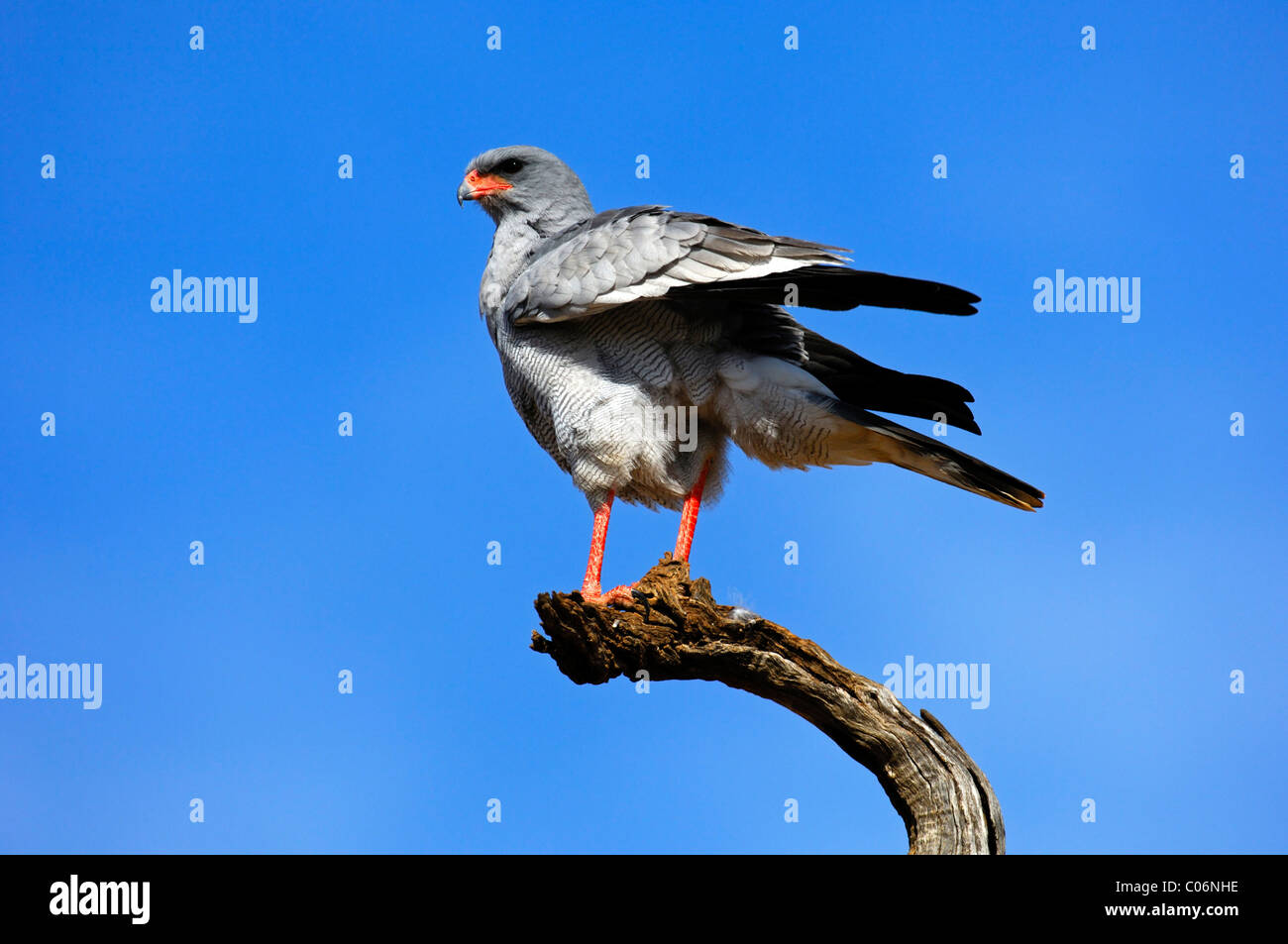 Pale Chanting Goshawk (Melierax canorus) perched on a lookout, Madikwe Game Reserve, South Africa - Stock Image