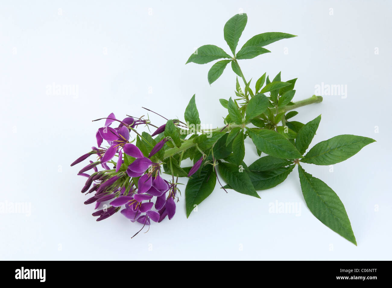 Spider Plant, Spider Flower (Cleome spinosa), flowering stalk. Studio picture against a white background. Stock Photo