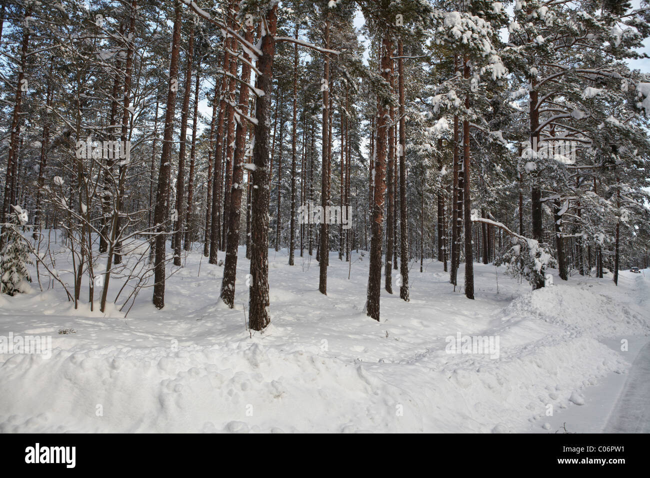 Pine tree forest covered in snow - Stock Image