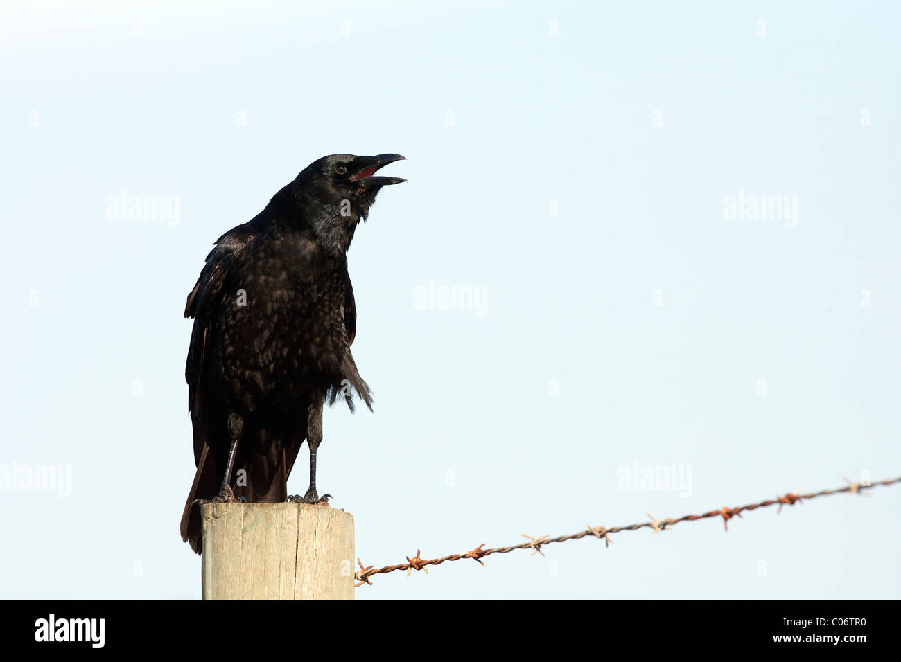 American Crow on a Fence Post Calling - Stock Image