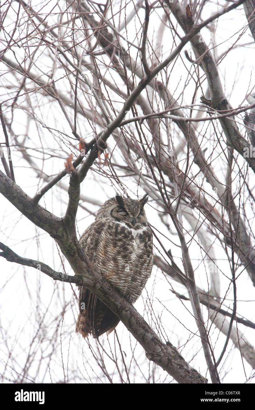 Great Horned Owl Sleeping Stock Photo