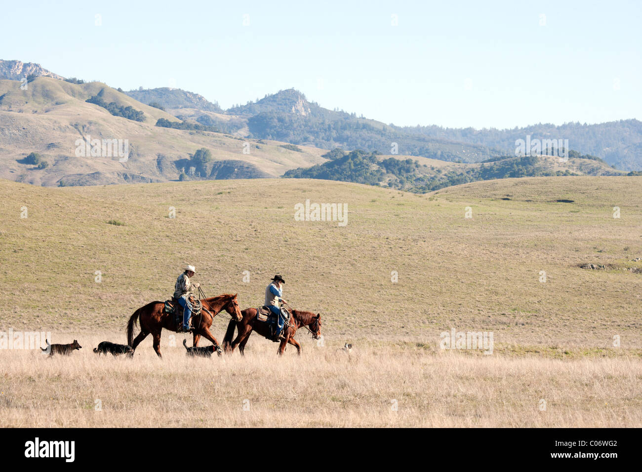 Cowboy on Horseback Talking on a Cell Phone - Stock Image