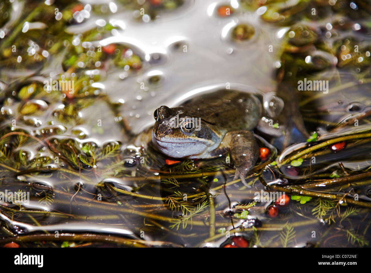 Common Frogs (Rana Temporaria) in pond, England - Stock Image