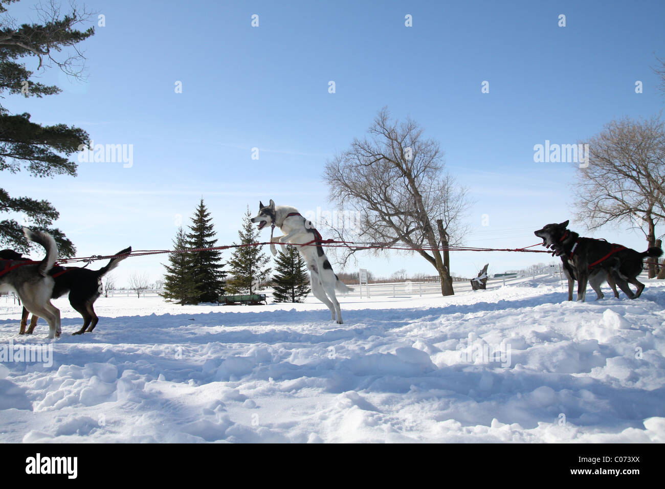 Sled dogs jumping and pulling while waiting to start working. - Stock Image
