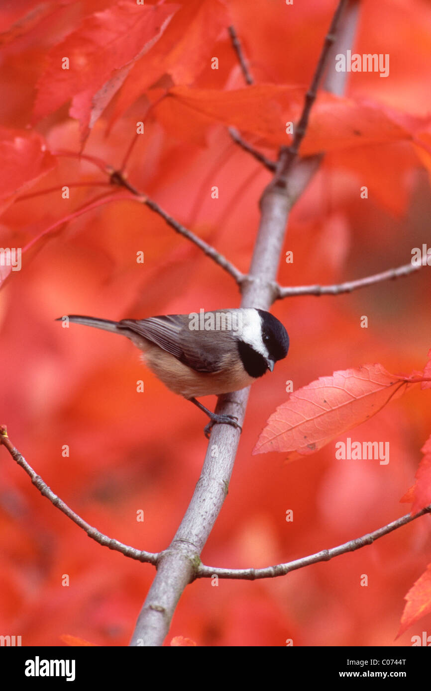 Carolina Chickadee perching in Fall Maple Tree - vertical - Stock Image