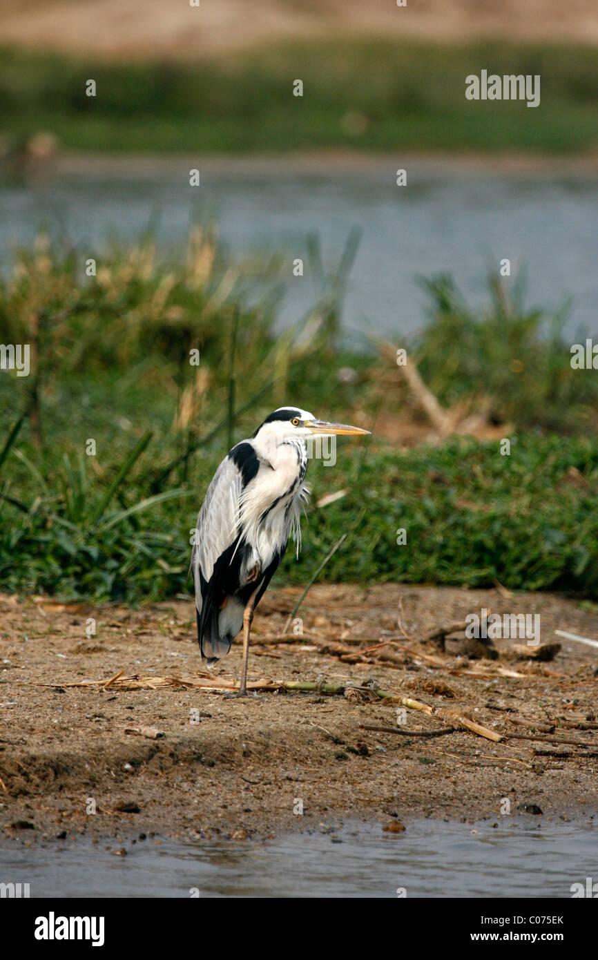 Grey Heron (Ardea cinerea) standing on one leg by the Kazinga Channel, Queen Elizabeth National Park, Uganda - Stock Image