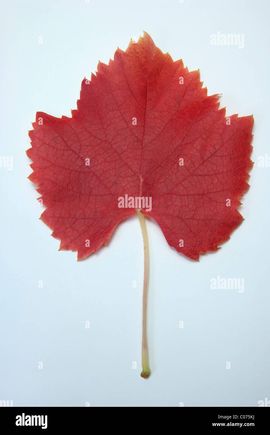 Grape Vine (Vitis vinifera), leaf in autumn colors, studio picture. Stock Photo