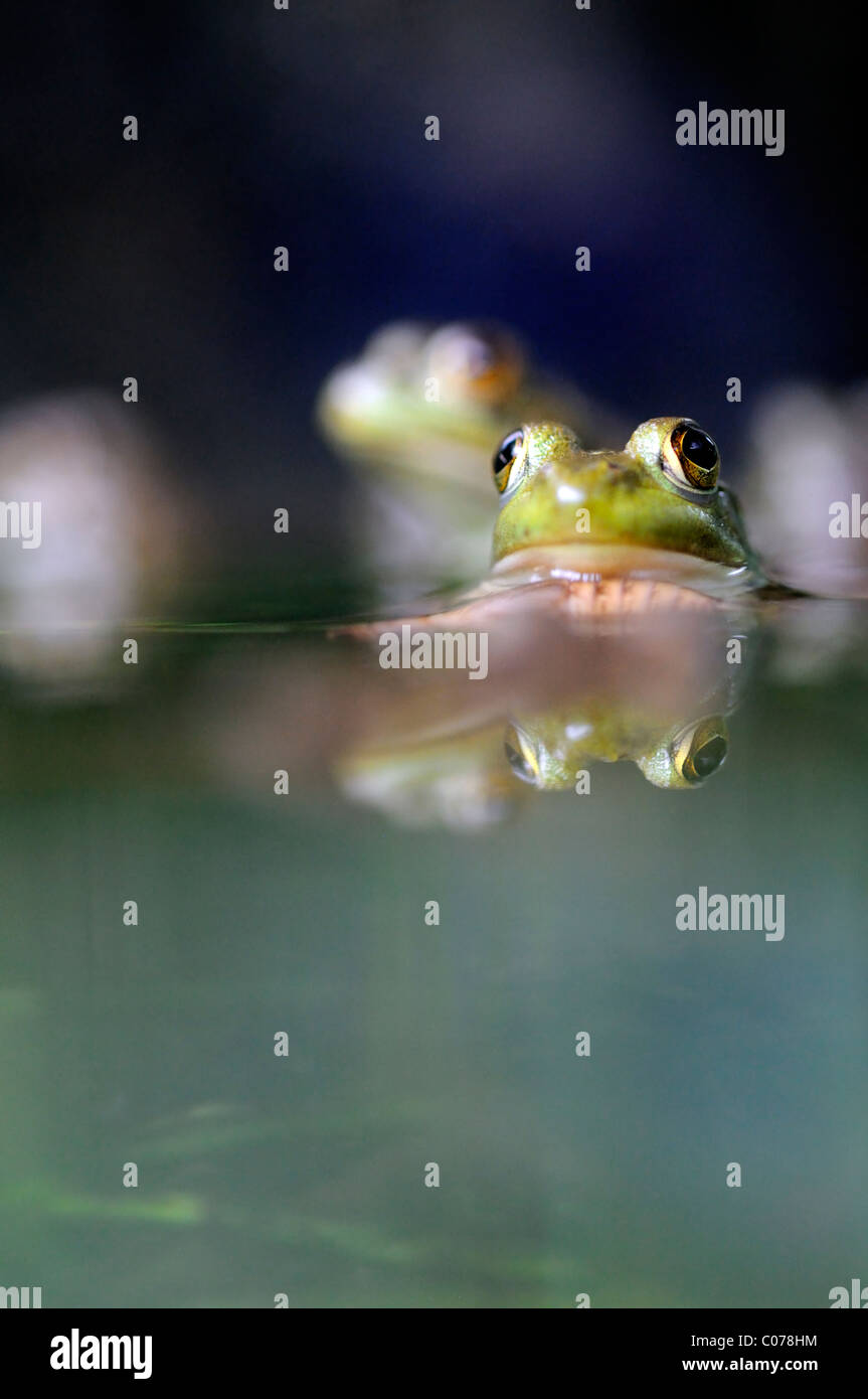 Close up of the eyes of a Common Frog in a pond view viewpoint water eye level Stock Photo
