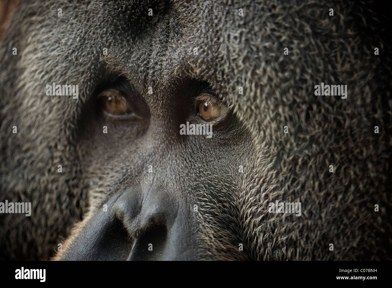 Close up of Male Orangutan - Stock Image