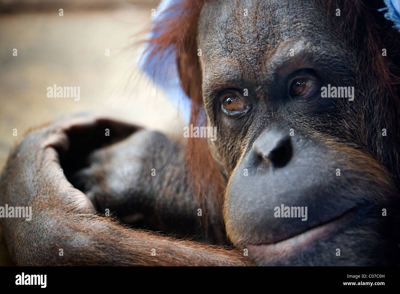 Young orangutan - Stock Image