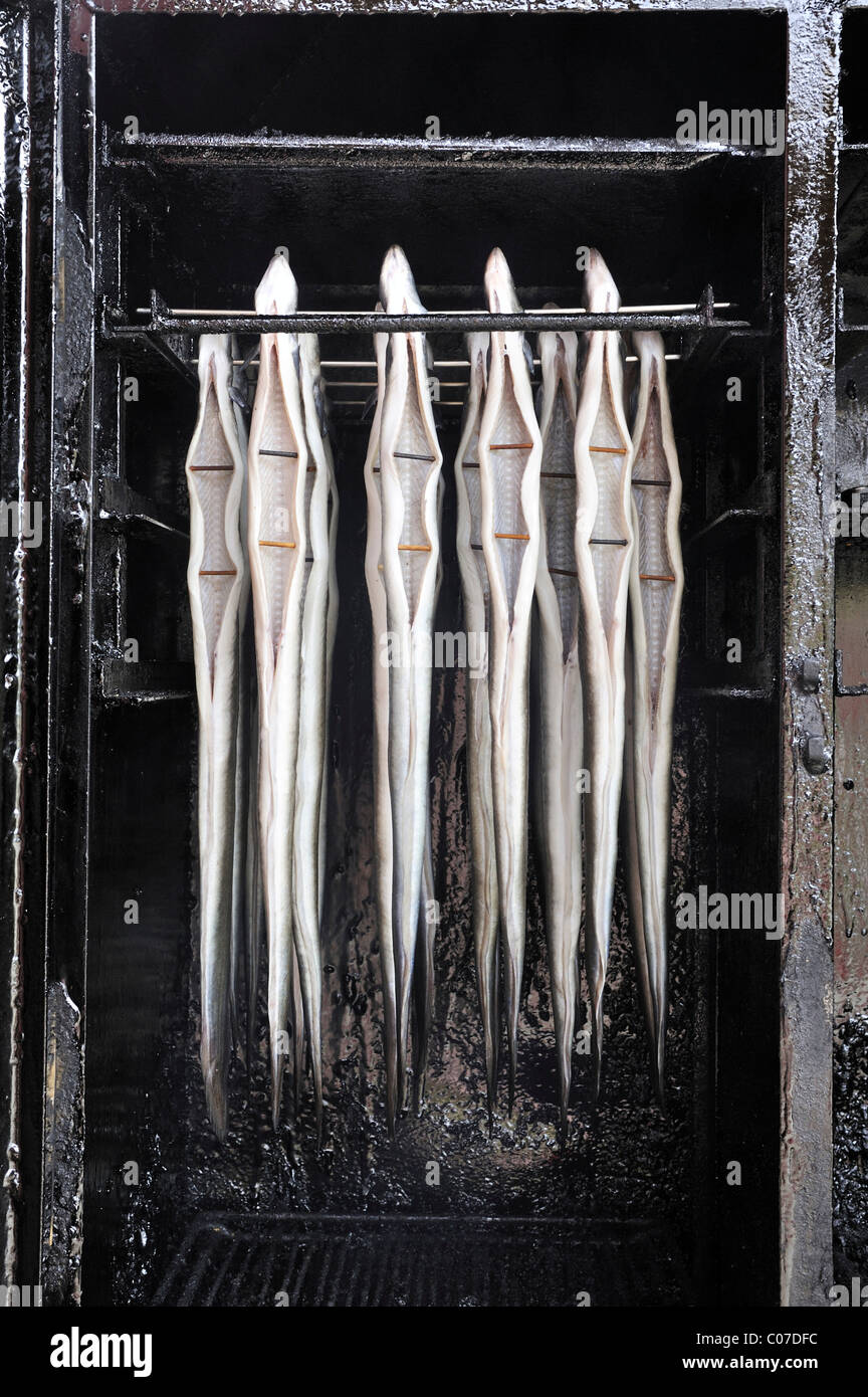 Fresh eel (Anguilla anguilla) hung in the smokehouse, Ruegen island, Mecklenburg-Western Pomerania, Germany, Europe - Stock Image
