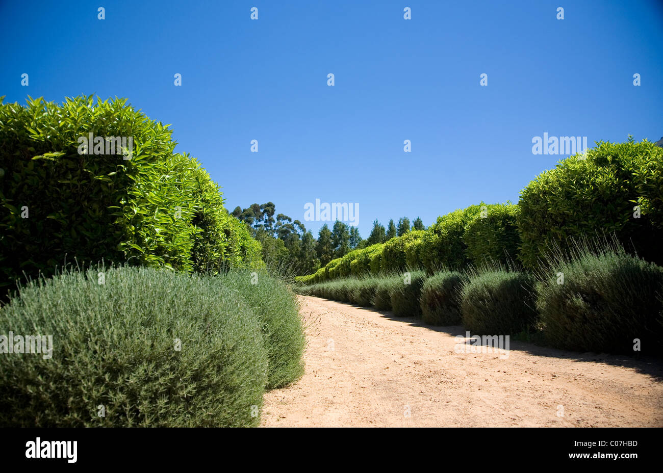 Waterford Wine Estate, Driveway with lavender bushes, in Stellenbosch - Stock Image