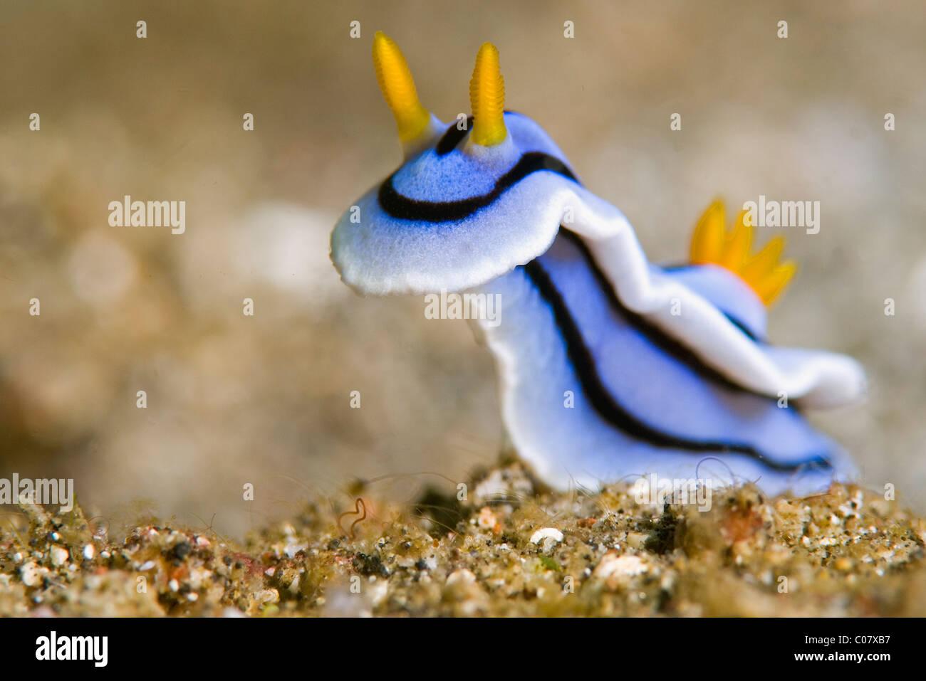 Loch's Chromodoris (sea slug), Lembeh, Indonesia - Stock Image