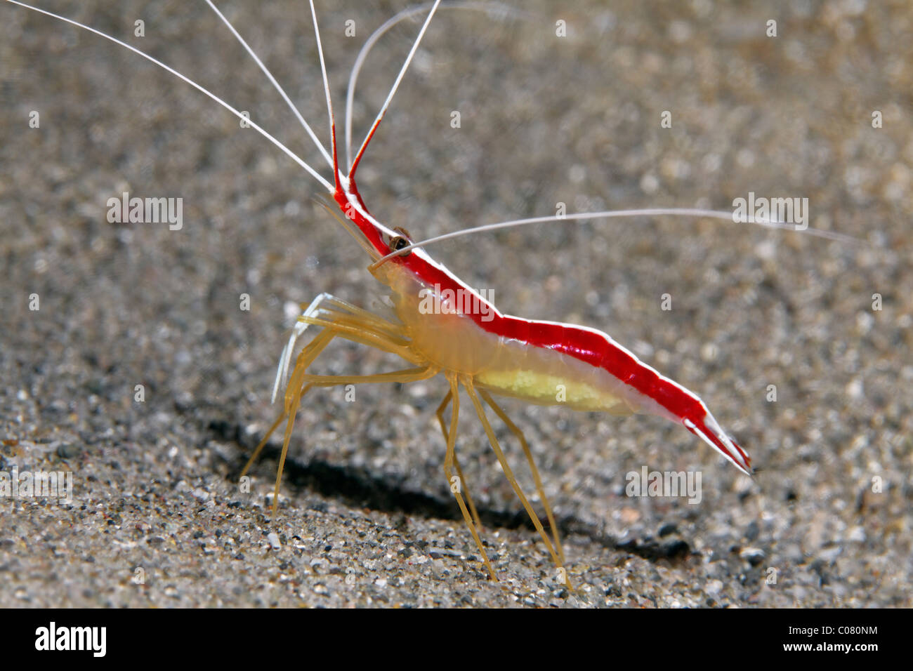 Scarlet-Striped Cleaner Shrimp (Lysmata grabhami), on sandy bottom, Saint Lucia, St. Lucia Island, Windward Islands - Stock Image