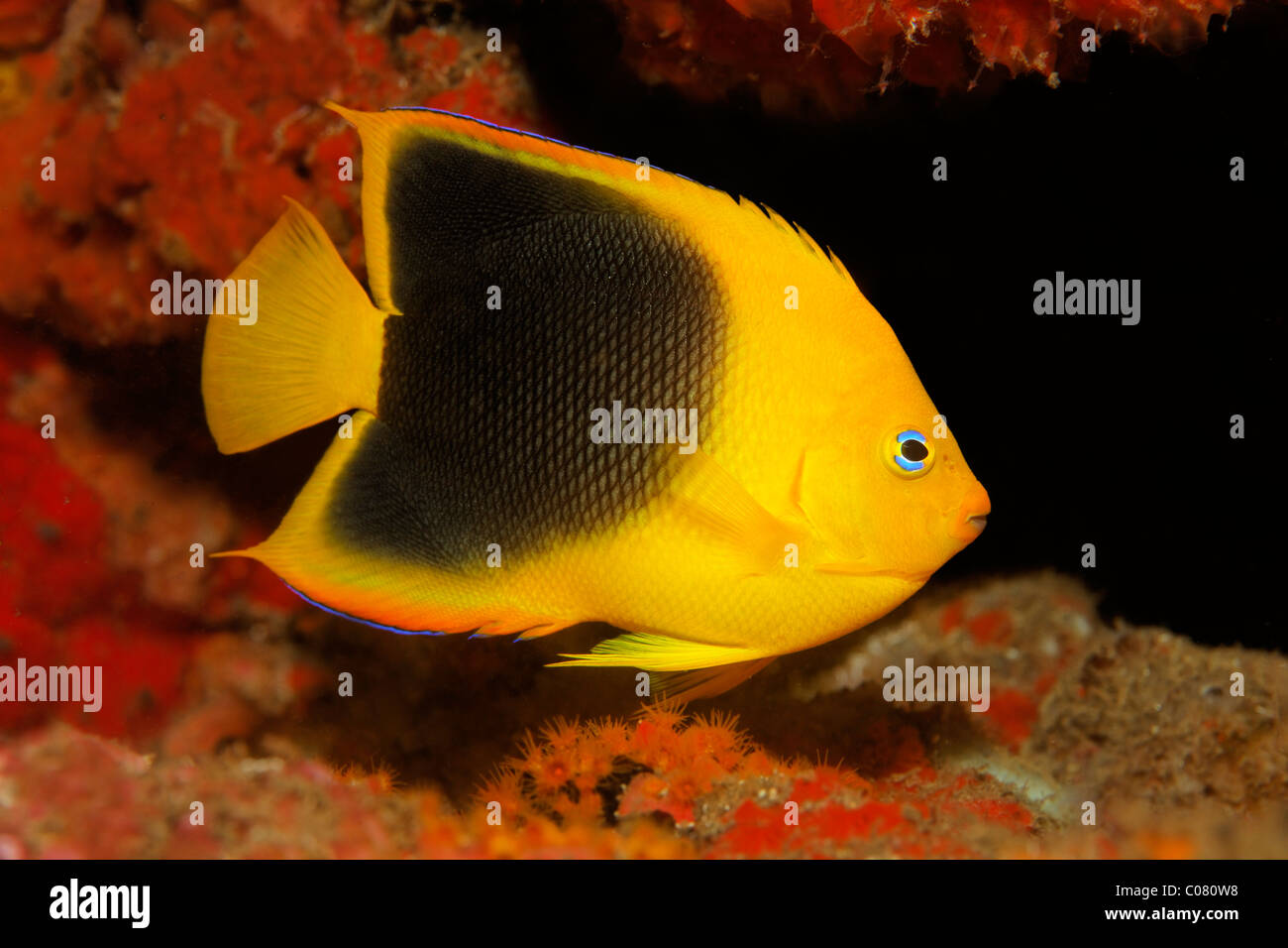 Rock beauty (Holacanthus tricolor), in hideaway, transitional form between juvenile and adult fish, Saint Lucia - Stock Image
