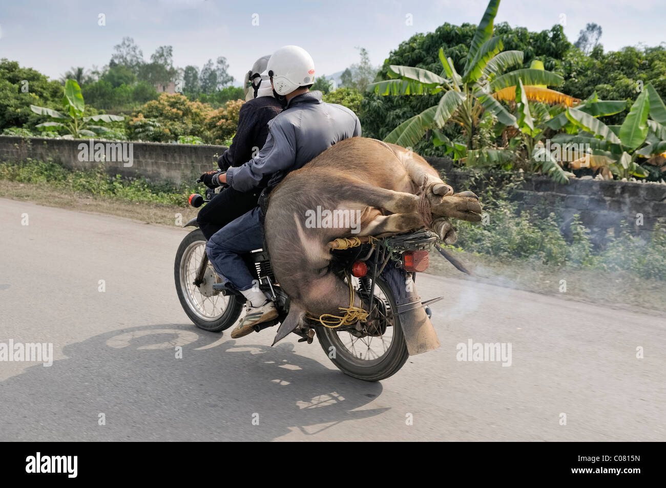 Moped loaded with water buffalo, Hanoi, Viet Nam, Southeast Asia - Stock Image