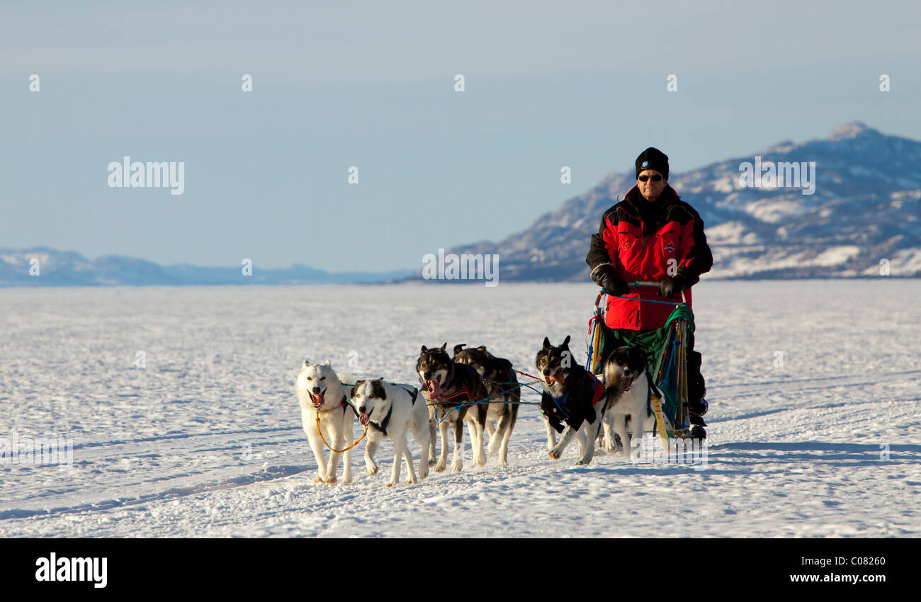 Man, musher running, driving a dog sled, team of sled dogs, Alaskan Huskies, mountains behind, frozen Lake Laberge - Stock Image
