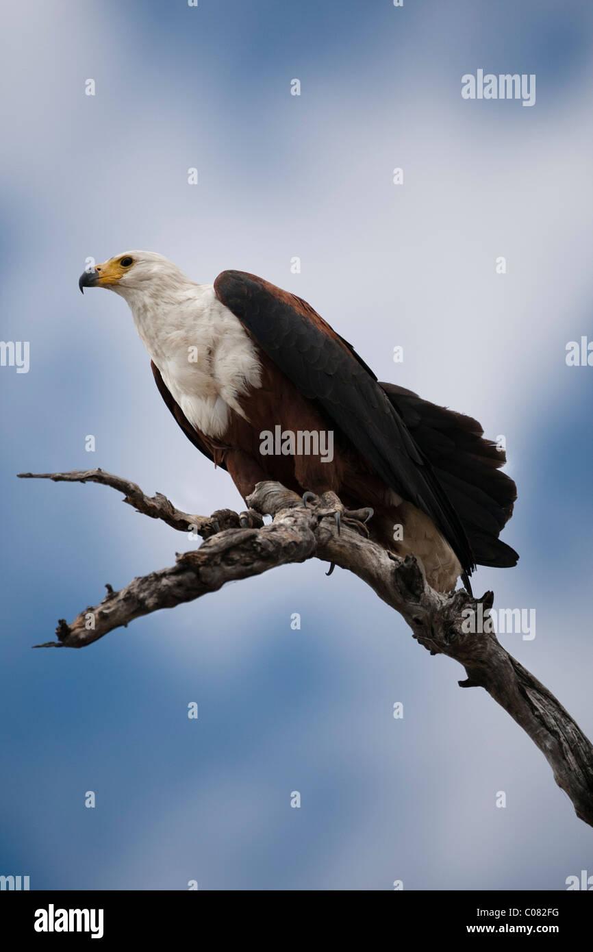 African Fish Eagle perched in tree, Masai Mara, Kenya - Stock Image