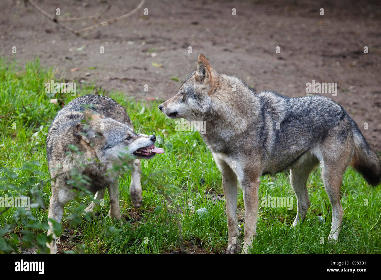 Wolves (Canis lupus), submissive gestures, behavior, Europe - Stock Image