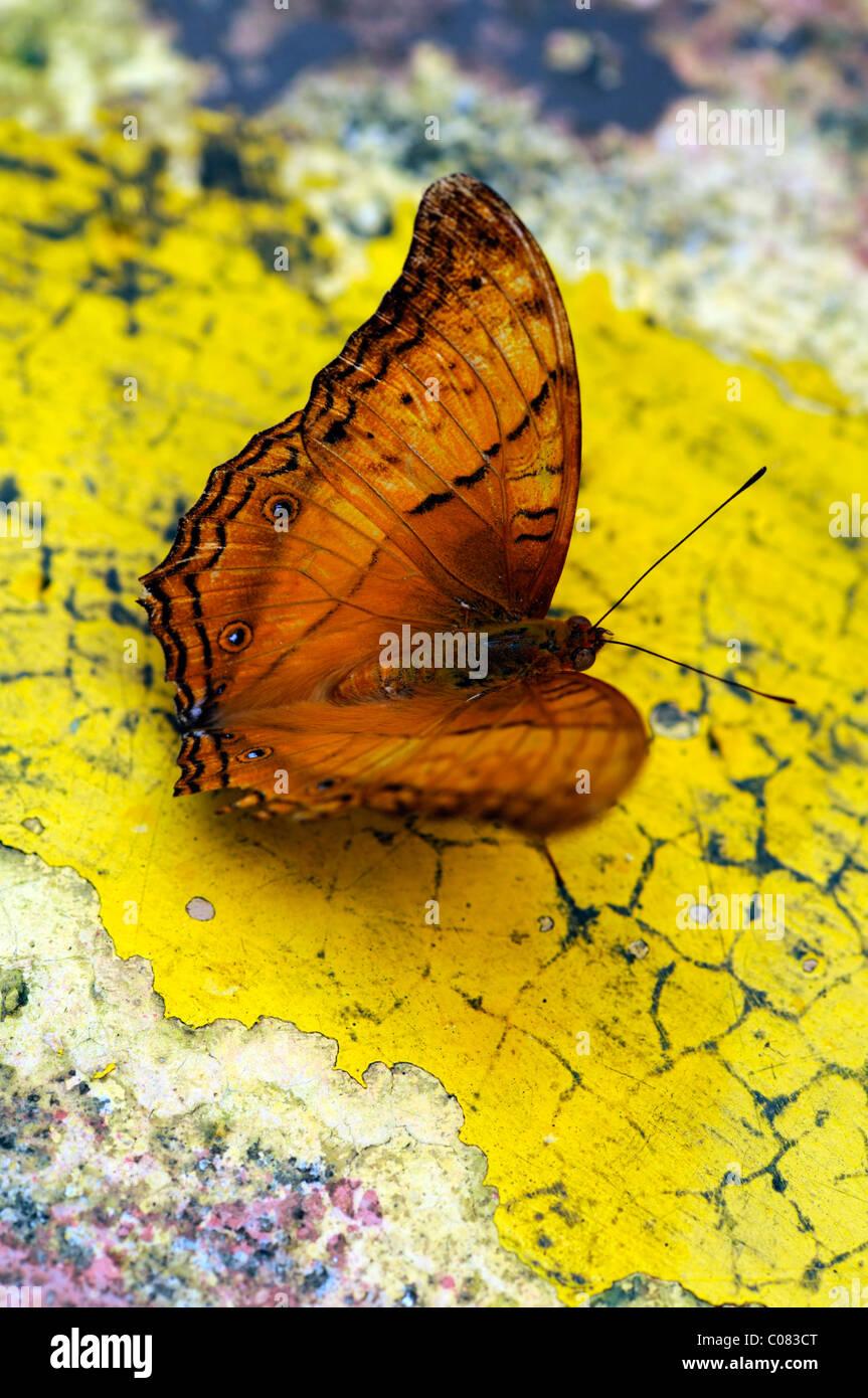 orange skipper butterfly park Kuala lumpur KL malaysia - Stock Image