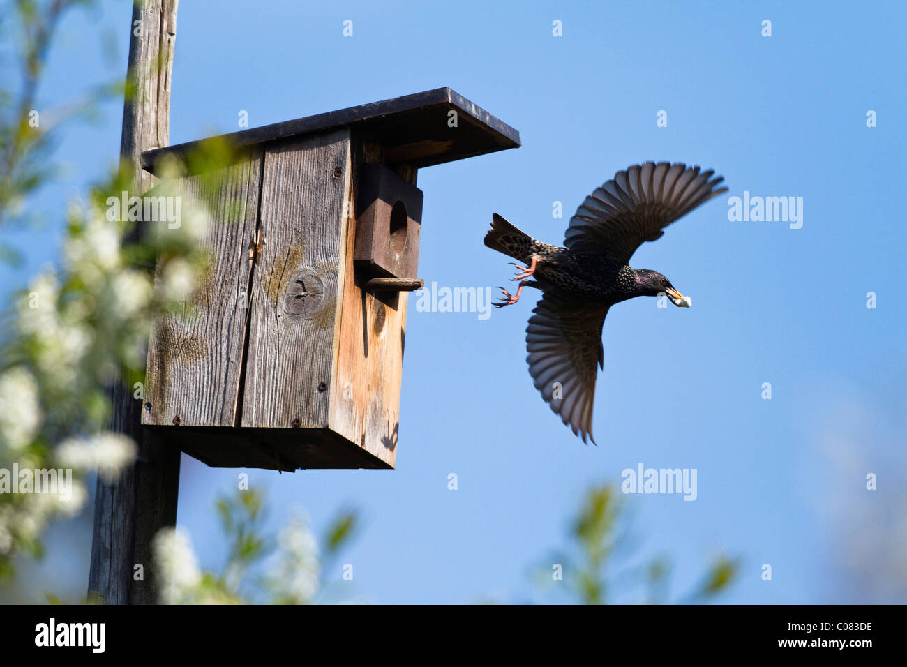 Starling (Sturnus vulgaris) carrying faeces away from a nest box in a garden, Bavaria, Germany, Europe - Stock Image